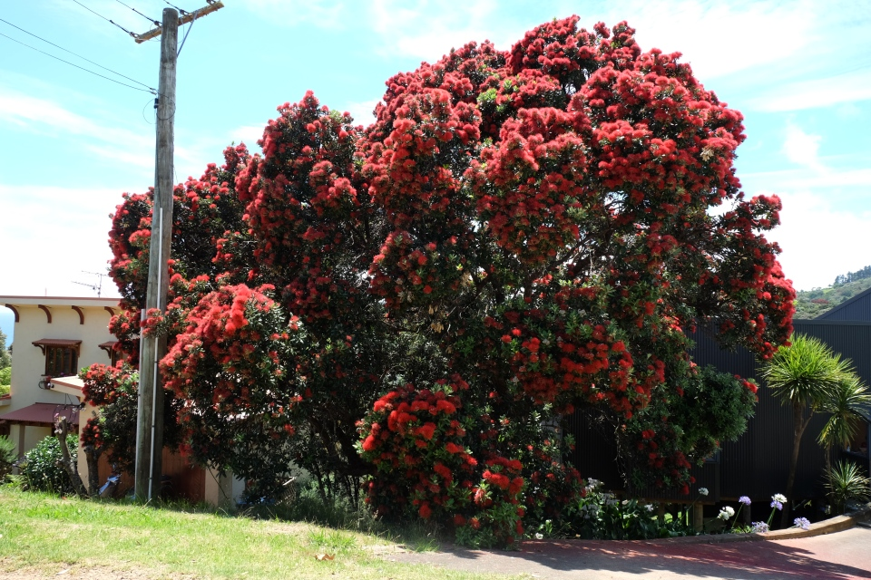 Pohutakawa tree