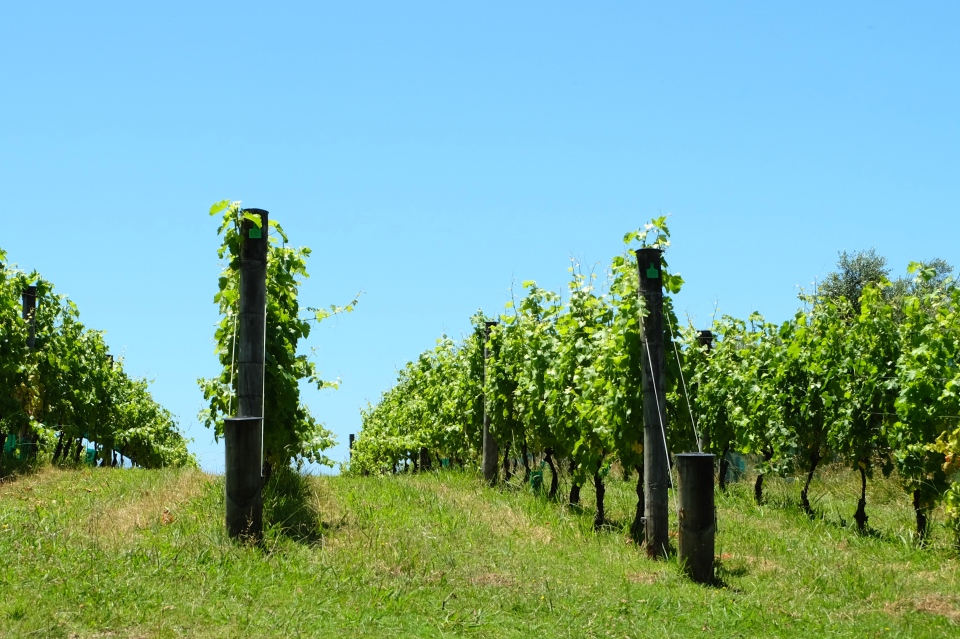 Grape vines, Waiheke